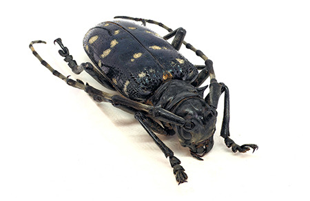 The tree-killing invasive Asian Longhorn Beetle