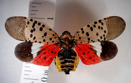 Be on the lookout for the Spotted Lantern Fly, an invasive species dangerous to Michigan trees and fruit