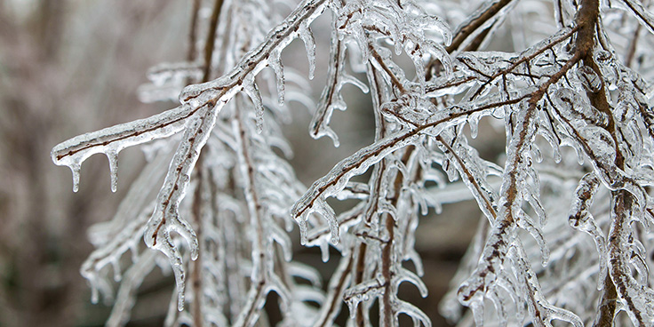 branches covered in icicles